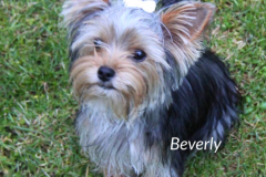 Yorkshire Terrier Beverly