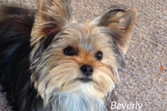 Yorkshire Terrier.Beverly Nelly