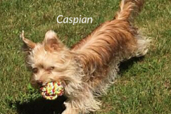 Chocolate Yorkshire Terrier Caspian