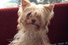 Yorkshire Terrier Paula Calaiopeh
