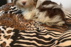 Biro Yorkshire Terrier Ginger Bajana Home of Harmony (2)