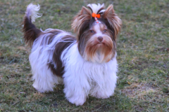 Biro Yorkshire Terrier Ginger Home of Harmony