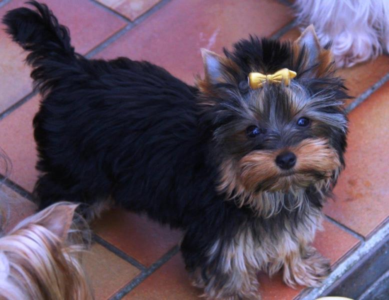 HomeofHarmomy_black_and_tan_Yorksire Terrier_Lea10
