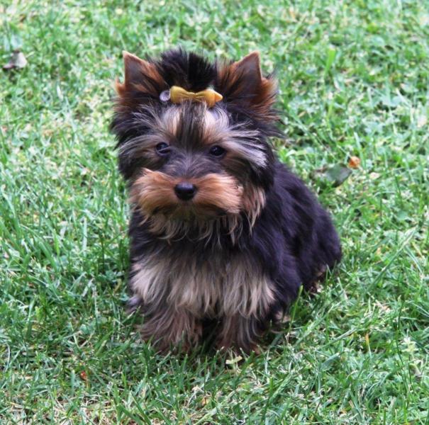 HomeofHarmomy_black_and_tan_Yorksire Terrier_Lea11