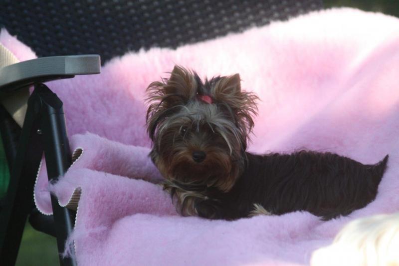 HomeofHarmomy_black_and_tan_Yorksire Terrier_Lea15