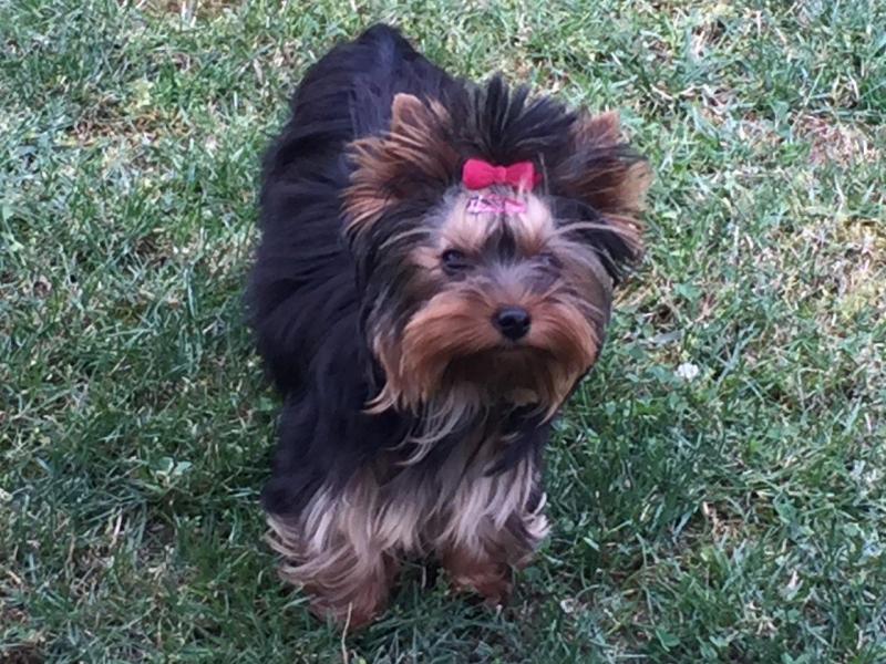 HomeofHarmomy_black_and_tan_Yorksire Terrier_Lea2