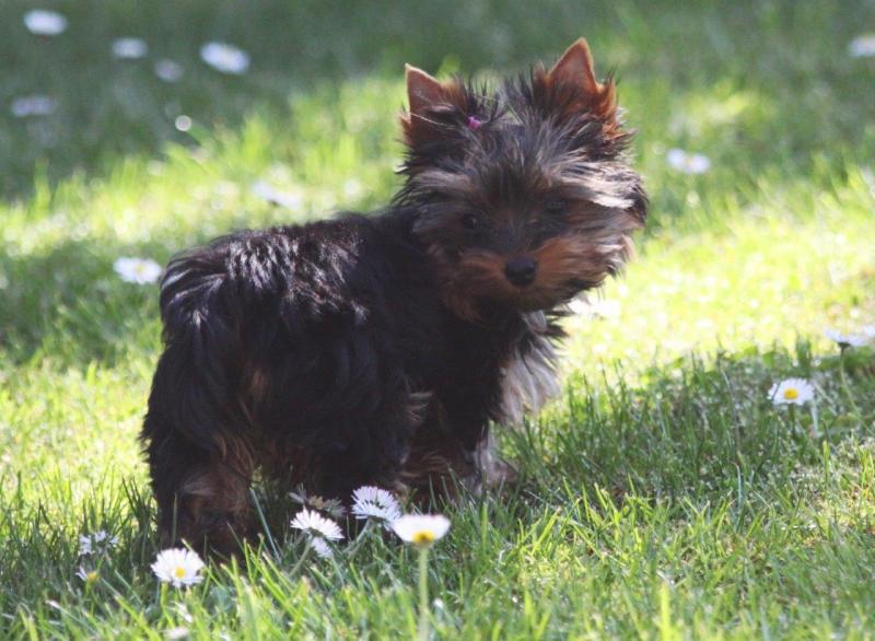 HomeofHarmomy_black_and_tan_Yorksire Terrier_Lea4