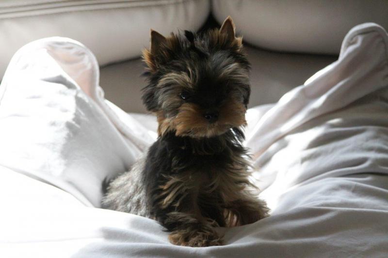 HomeofHarmomy_black_and_tan_Yorksire Terrier_Lea5