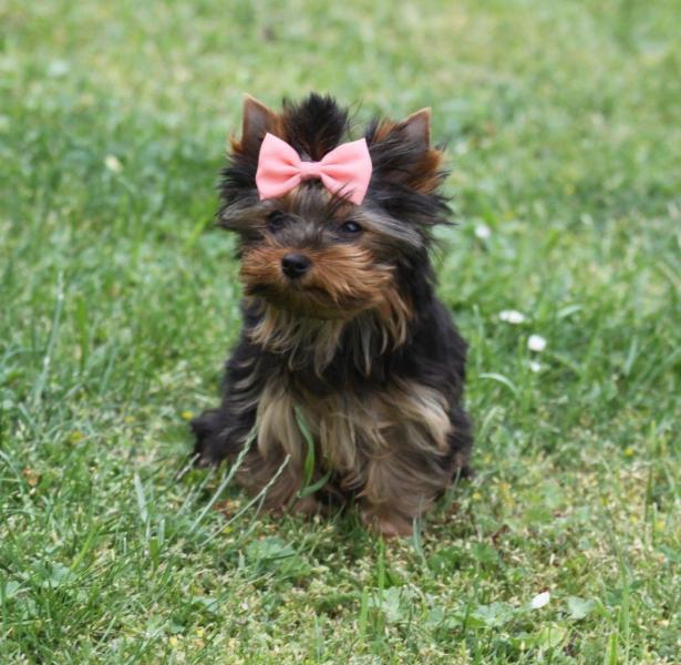 HomeofHarmomy_black_and_tan_Yorksire Terrier_Lea8
