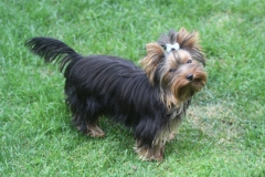 HomeofHarmomy_black_and_tan_Yorksire Terrier_Lea13