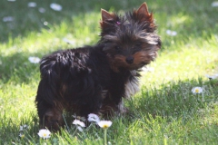 HomeofHarmomy_black_and_tan_Yorksire Terrier_Lea4