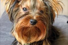 Yorkshire Terrier Lea