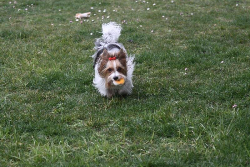 HomeofHarmomy_Biewer Yorkshire Terrier_Lehnchen2