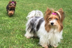 HomeofHarmomy_Biewer Yorkshire Terrier_Lehnchen1