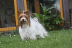 HomeofHarmomy_Biewer Yorkshire Terrier_Lehnchen5