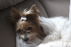 HomeofHarmomy_Biewer Yorkshire Terrier_Lehnchen7