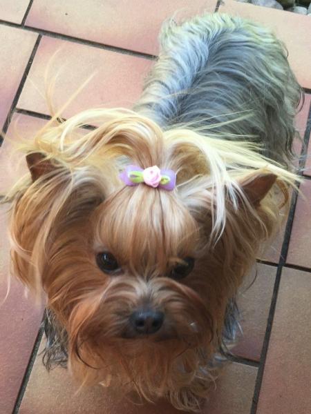 HomeofHarmomy_Blue_and_tan_ Yorkshire Terrier_Lili1
