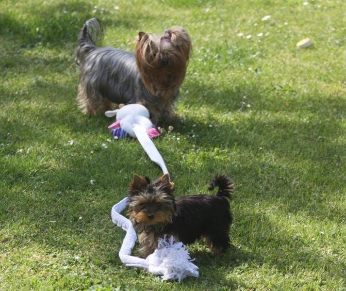HomeofHarmomy_Blue_and_tan_ Yorkshire Terrier_Lili4