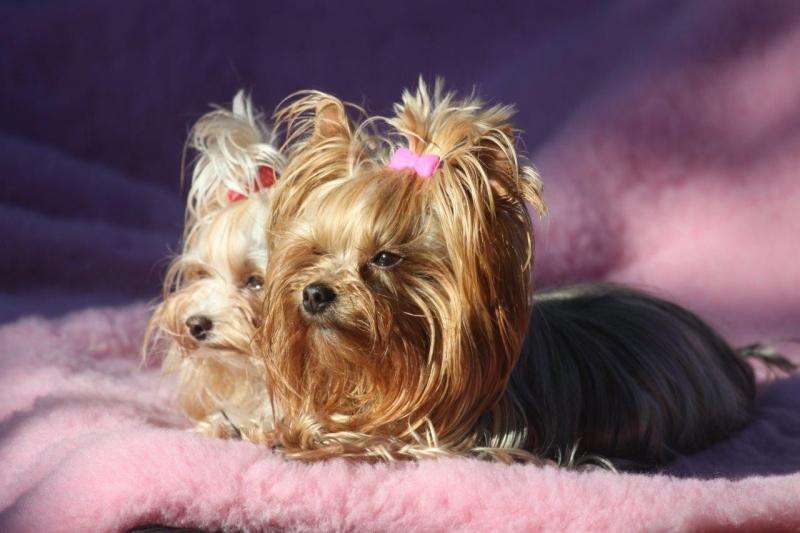 HomeofHarmomy_Blue_and_tan_ Yorkshire Terrier_Lili6