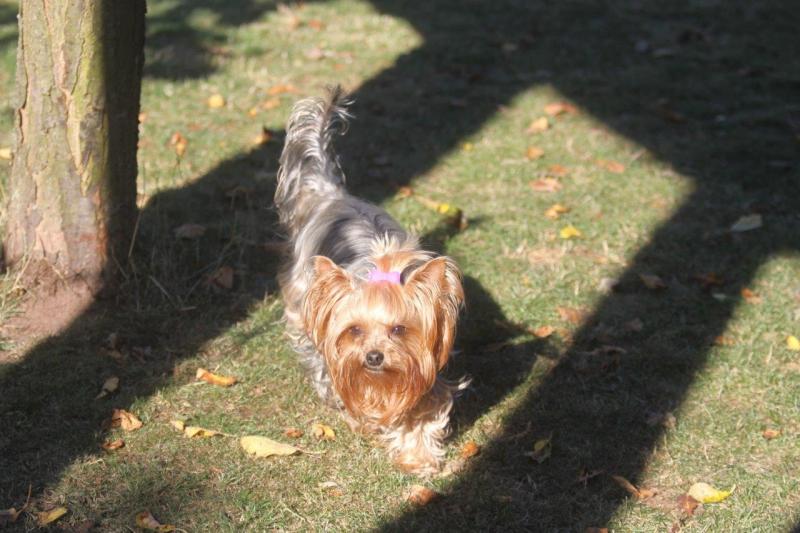 HomeofHarmomy_Blue_and_tan_ Yorkshire Terrier_Lili7