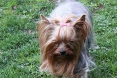 HomeofHarmomy_Blue_and_tan_ Yorkshire Terrier_Lili10
