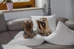 HomeofHarmomy_Blue_and_tan_ Yorkshire Terrier_Lili3