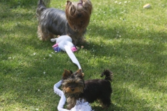 HomeofHarmomy_Blue_and_tan_ Yorkshire Terrier_Lili4