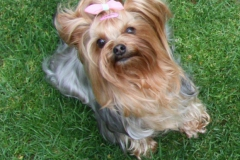 HomeofHarmomy_Blue_and_tan_ Yorkshire Terrier_Lili5