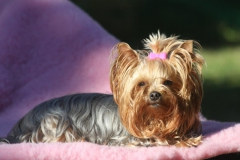 IMGHomeofHarmomy_Blue_and_tan_ Yorkshire Terrier_Lili8_