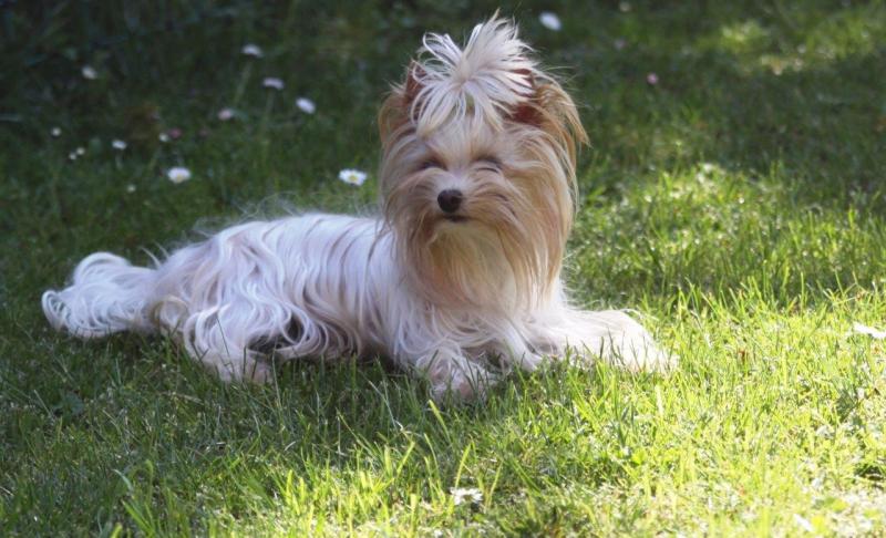 HomeofHarmomy_Golddust_ Yorkshire Terrier_Lulu1
