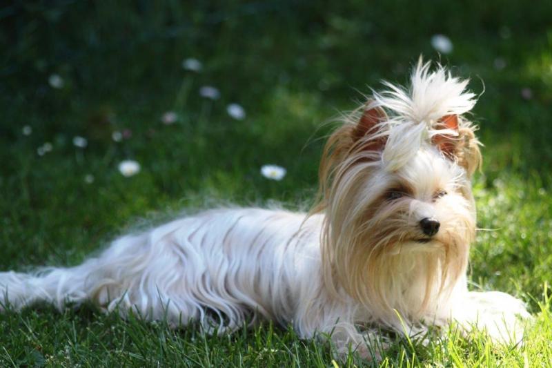 HomeofHarmomy_Golddust_ Yorkshire Terrier_Lulu3