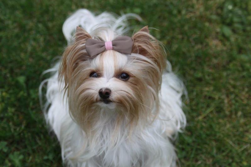 HomeofHarmomy_Golddust_ Yorkshire Terrier_Lulu4