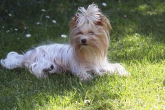 HomeofHarmomy_Golddust_ Yorkshire Terrier_Lulu1