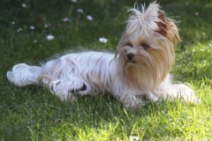 HomeofHarmomy_Golddust_ Yorkshire Terrier_Lulu2