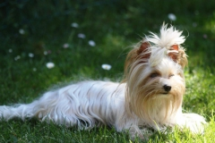 HomeofHarmomy_Golddust_ Yorkshire Terrier_Lulu3
